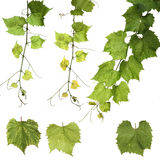 Grapes leafs on white background stock photos