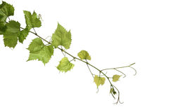 Grapes leafs on white background royalty free stock photos