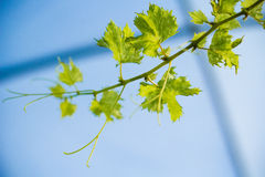 Grapes leave winery yard Royalty Free Stock Image
