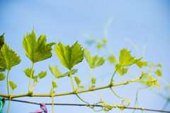 Grapes leave winery yard Stock Images