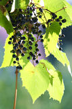 Grapes and leaves Royalty Free Stock Image