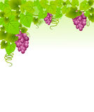 Grapes with leaves. Royalty Free Stock Photo