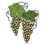 Grapes with leaves on the branch isolated Stock Photos