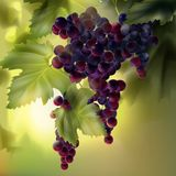 Grapes with leaves. Vector bunch of red grapes with leaves in vineyard on background with bokeh Stock Image