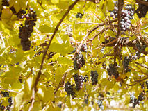 Grapes between leaves Stock Photos