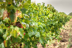 Grapes leaves in a vineyard Stock Image