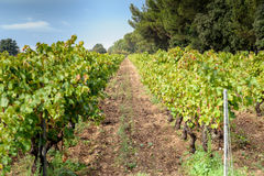 Grapes leaves in a vineyard Royalty Free Stock Images