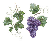 Grapes with leaves Royalty Free Stock Images