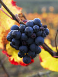 Grapes left on the vine Stock Photo