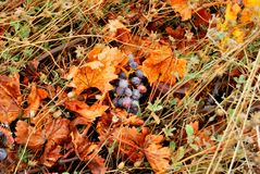 Grapes lying on the ground Stock Image