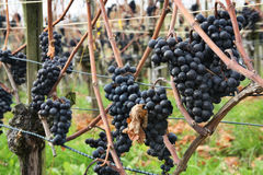 Grapes for making ice wine Royalty Free Stock Image