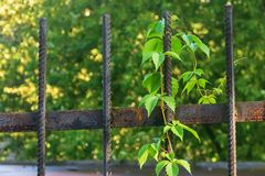 Grapes on a metal fence stock photo