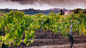Grapes with Montepulciano in the background Royalty Free Stock Images