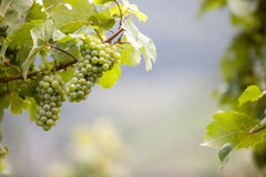 Grapes in the Mosel Valley Royalty Free Stock Photography