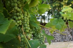 Grapes in my garden in front of a wall made of wood. Grapes in front of a wall made of wood Royalty Free Stock Images
