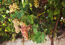 Grapes in Naxos, Greece. Stock Image
