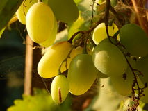Grapes. Nice big grapes in spiderweb Stock Photography