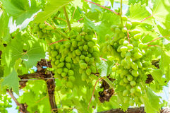 Grapes. Nice young grapes growing in the sun Royalty Free Stock Photography