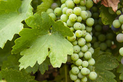 Grapes not yet matured. Cluster of green Zinfandel grapes not yet matured, hanging on the vine Stock Image