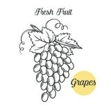 Grapes in the old ink style Stock Photo