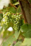 Grapes on old vine. Sunny day Royalty Free Stock Photos