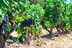 Grapes and old vineyards Stock Photography