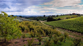 Grapes and olive fields near Montepulciano, Tuscan Royalty Free Stock Images