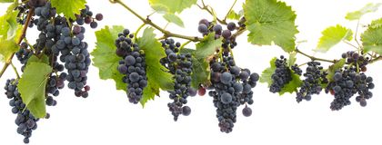 Grapes On A Branch With Leaves Stock Photos