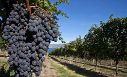 Free Grapes On The Vine Royalty Free Stock Image - 28907536