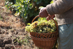 Grapes. Picking grapes in a wineyard Royalty Free Stock Photography