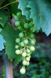 Grapes. Picture of a bunch of green grapes on the vine Stock Photos