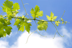 Grapes plant Stock Image