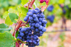Grapes at  plant Stock Images