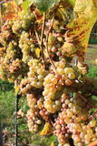 Grapes. On a plant with big leaf Royalty Free Stock Photos