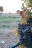 Grapes Plantation in Italy at Sunset in Autumn before the Harvest royalty free stock images