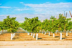 Grapes Plantation Vineyards. In Indio, Coachella Valley, California, United States Royalty Free Stock Photos