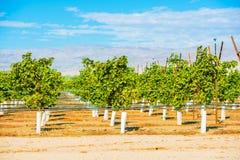 Grapes Plantation Vineyards Royalty Free Stock Photos