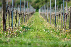 Grapes plants. In germany Baden Royalty Free Stock Images