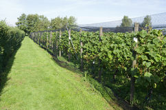 Grapes plants are protected by a protective net in a vineyard. Royalty Free Stock Photos