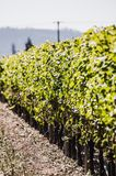 Grapevines Rows stock photography