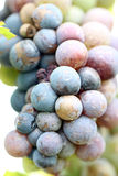 Grapes for the Productivity of wine. Grapes for the Productivity of wine in garden Stock Photography