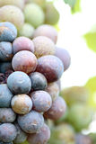 Grapes for the Productivity of wine. Stock Images