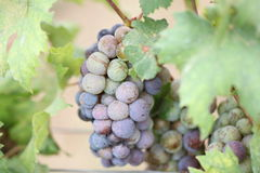 Grapes for the Productivity of wine. Grapes for the Productivity of wine in garden Royalty Free Stock Photography