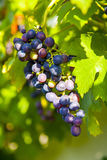 Grapes prosper well at the housewall. Because of the sunshine and the warmness Stock Photo