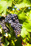 Grapes prosper well at the housewall. Because of the sunshine and the warmness royalty free stock photos