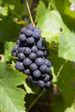 Grapes prosper well at the housewall Stock Images
