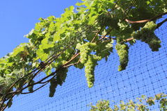 Grapes with Protective Mesh or Screen Stock Photo