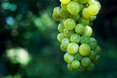 Grapes and rain Stock Image