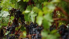 Grapes_037 stock video footage