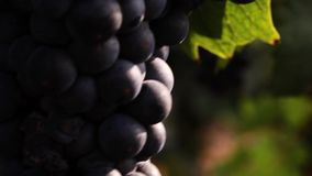 Grapes_036 stock video footage